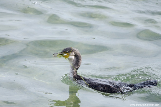 The Great Cormorant is a large black bird with long tail and yel