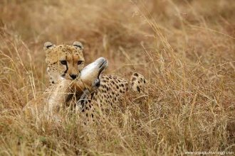 Cheetah with Thomson Gazelle