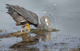 Western reef heron