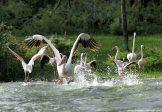 Great Pelicans