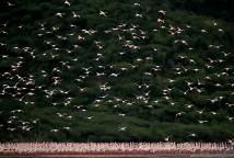 Lesser Flamingos, Lake Bogoria