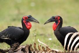 Southern Ground Hornbills