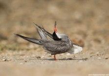 White-cheeked tern