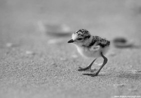 Kentish Plover chick
