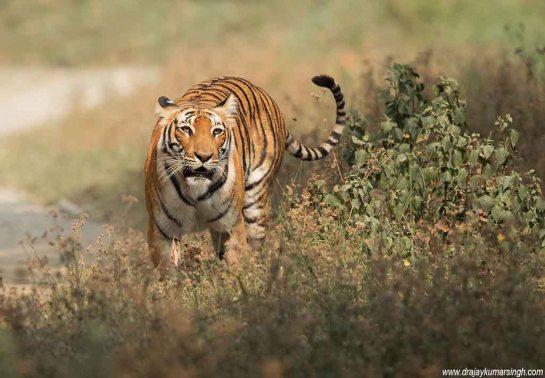 Tigress Parwali
