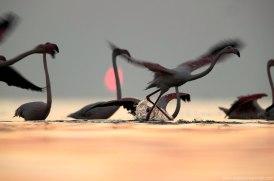 Solar Eclipse and Flamingos