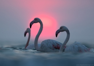 Greater flamingos and dramatic sun