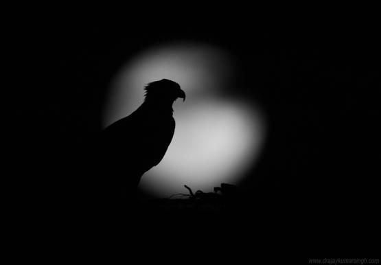 Osprey and moonrise