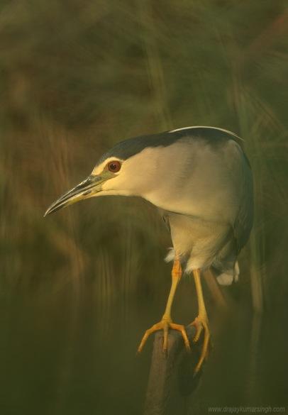 Blac crowned night heron