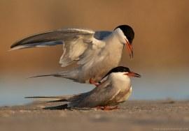 White-cheeked tern mating